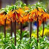 2x Fritillaria imperialis 'Orange Beauty' | 2er Set Orangene...
