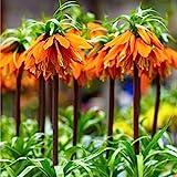 2x Fritillaria imperialis'Orange Beauty' | 2er Set Orangene...