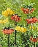 5 Kaiserkronen gemischt Fritillaria Imperialis...