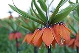2 x Kaiserkronen Knollen Orangerot Fritillaria Imperialis...
