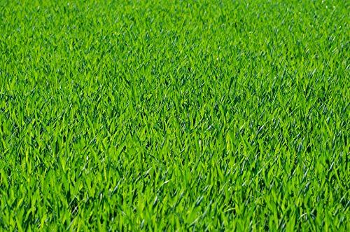 Rollrasen - 30m² echter Fertigrasen - Sorte: Premium...
