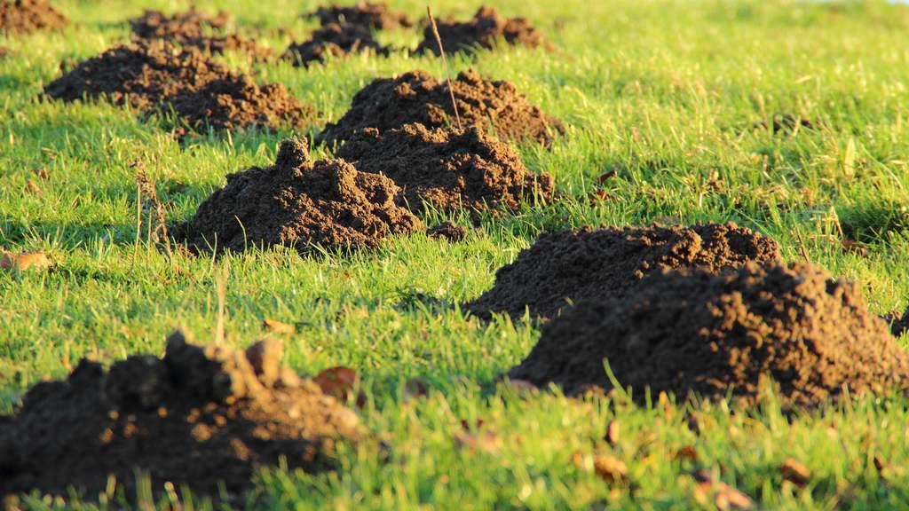Maulwurfhaufen Maulwurfhügel Maulwurf im Garten Gras