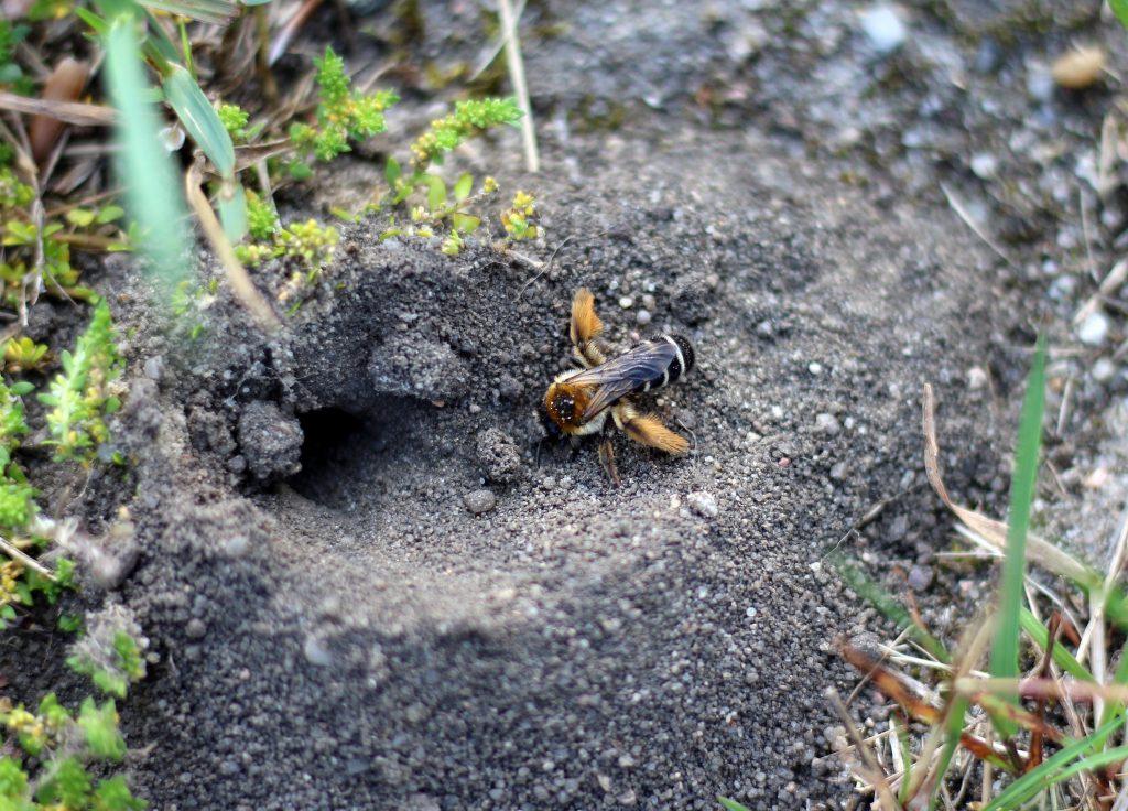Hosenbiene Wildbiene