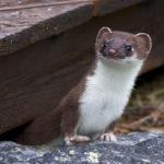 Natürliche Feinde von Maulwürfen & Wühlmäusen | Erkennen & Ansiedeln | Tipps & Tricks