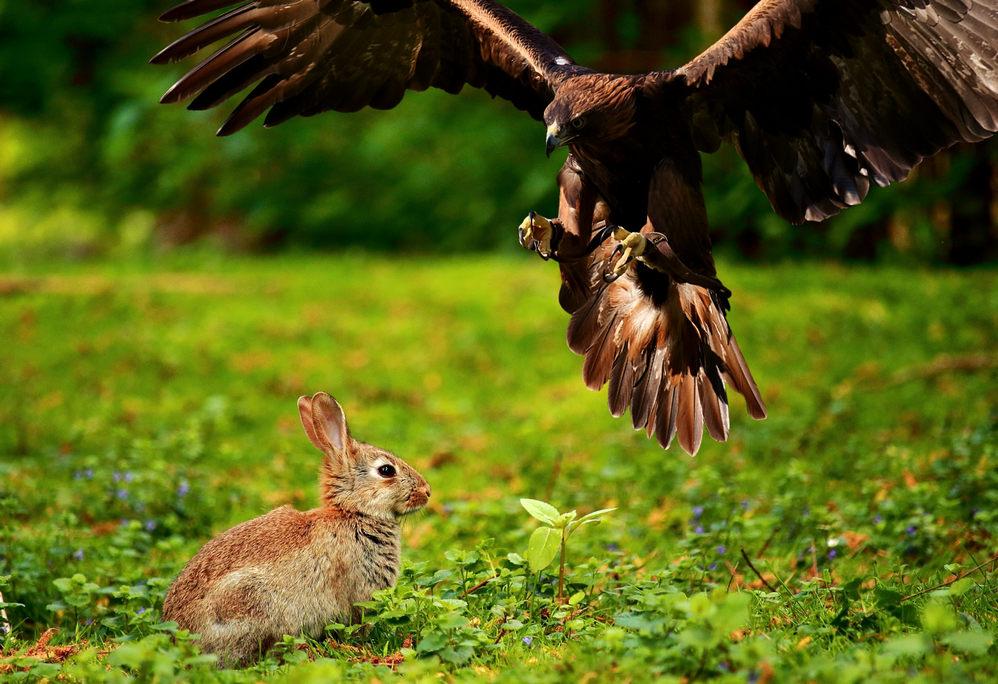 Adler und Kaninchen