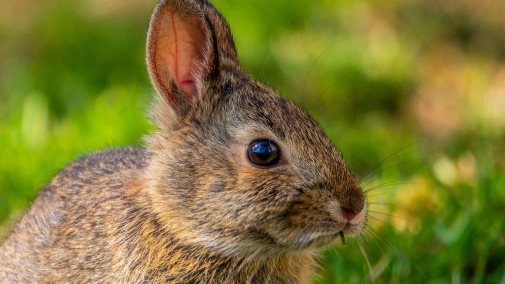 Kaninchen Makro